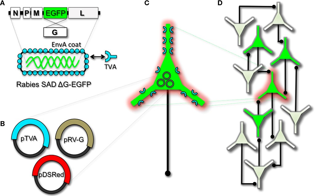 """Engineering and pseudotyping rabies virus (RV) for transneuronal tracing. (A)RV can be genetically engineered to express EGFP by replacing the genomic sequence encoding the G coat protein. The genetically modified G-deletion mutant RV must be propagatedin vitroto supply a coat protein. The particle can thus be pseudotyped by providing a foreign coat protein such as EnvA, which originates from the avian leukosis virus and binds specifically to it its cognate receptor TVA. EnvA pseudotyped RV can be used to selectively infect neurons that have been genetically targeted for TVA expression. By including additional constructs that encode the wildtype G-capsid protein and a red-colored """"cell fill""""(B), the modified RV can be genetically targeted to individual neurons for restricted circuit mapping and monosynaptic tracing (C).Since no endogenous receptors exist in the mammalian brain for EnvA, only neurons that are programmed to express TVA are capable of being infected by the EnvA pseudotyped virions. Because the wildtype G-protein sequence has been deleted from the RV genome, G must be supplied by complementation to allow trans-synaptic spread from the neurons targeted for infection.(D)Viral spread ceases monosynaptically due to the absence of G in unmodified neuronal populations."""