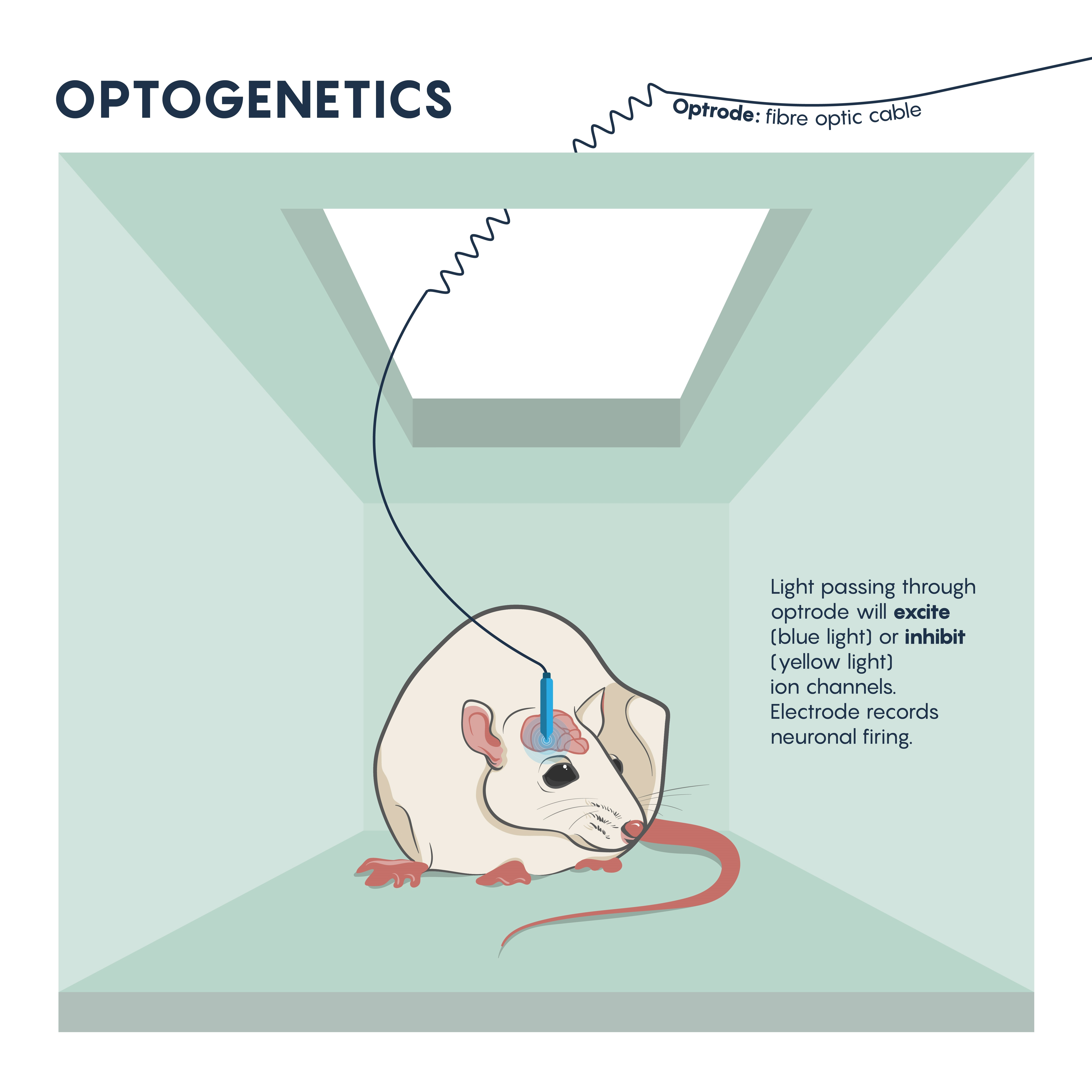 The beginnings of brain circuit studies in mice using optrodes to excite or inhibit ion channels.