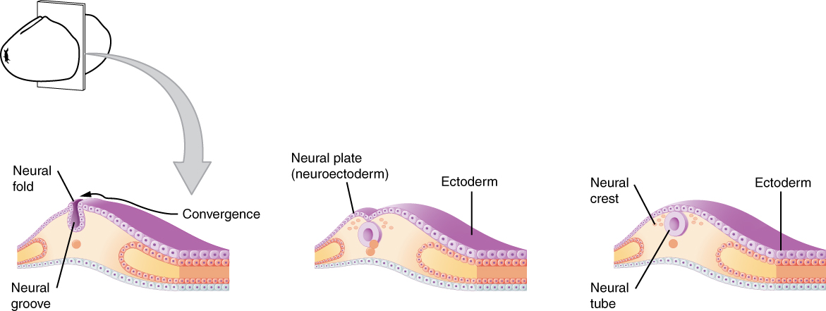 Diagram of the early embryonic development of nervous system