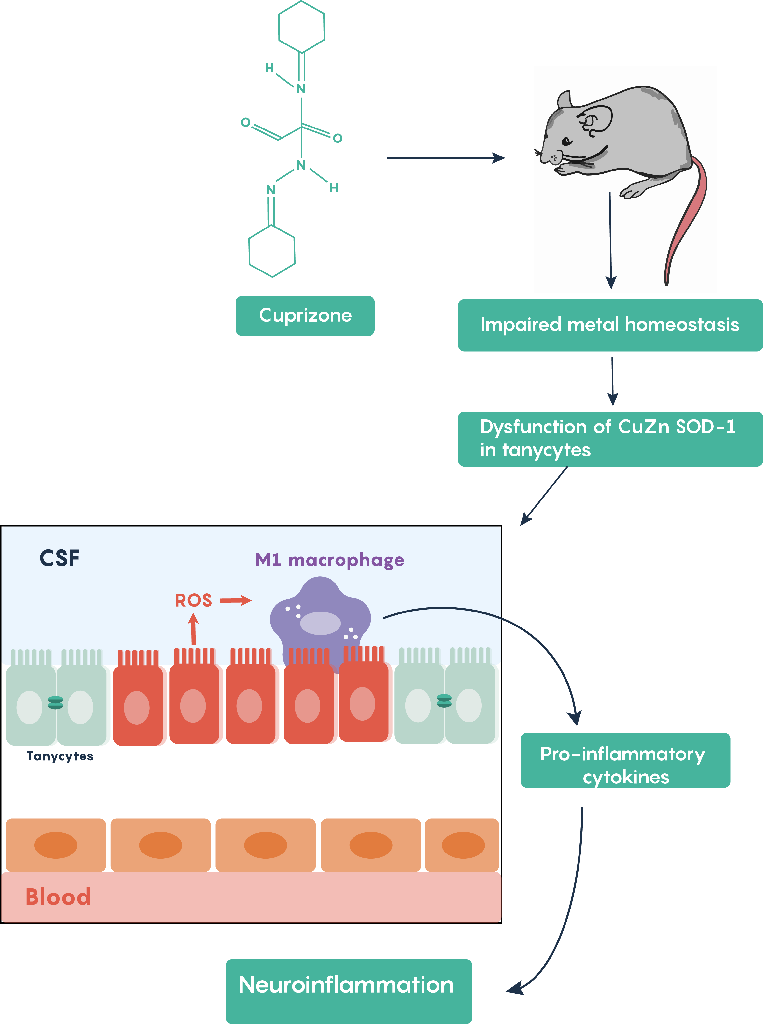 Mouse model of demyelination in multiple sclerosis highlighting the activation of the inflammatory process.
