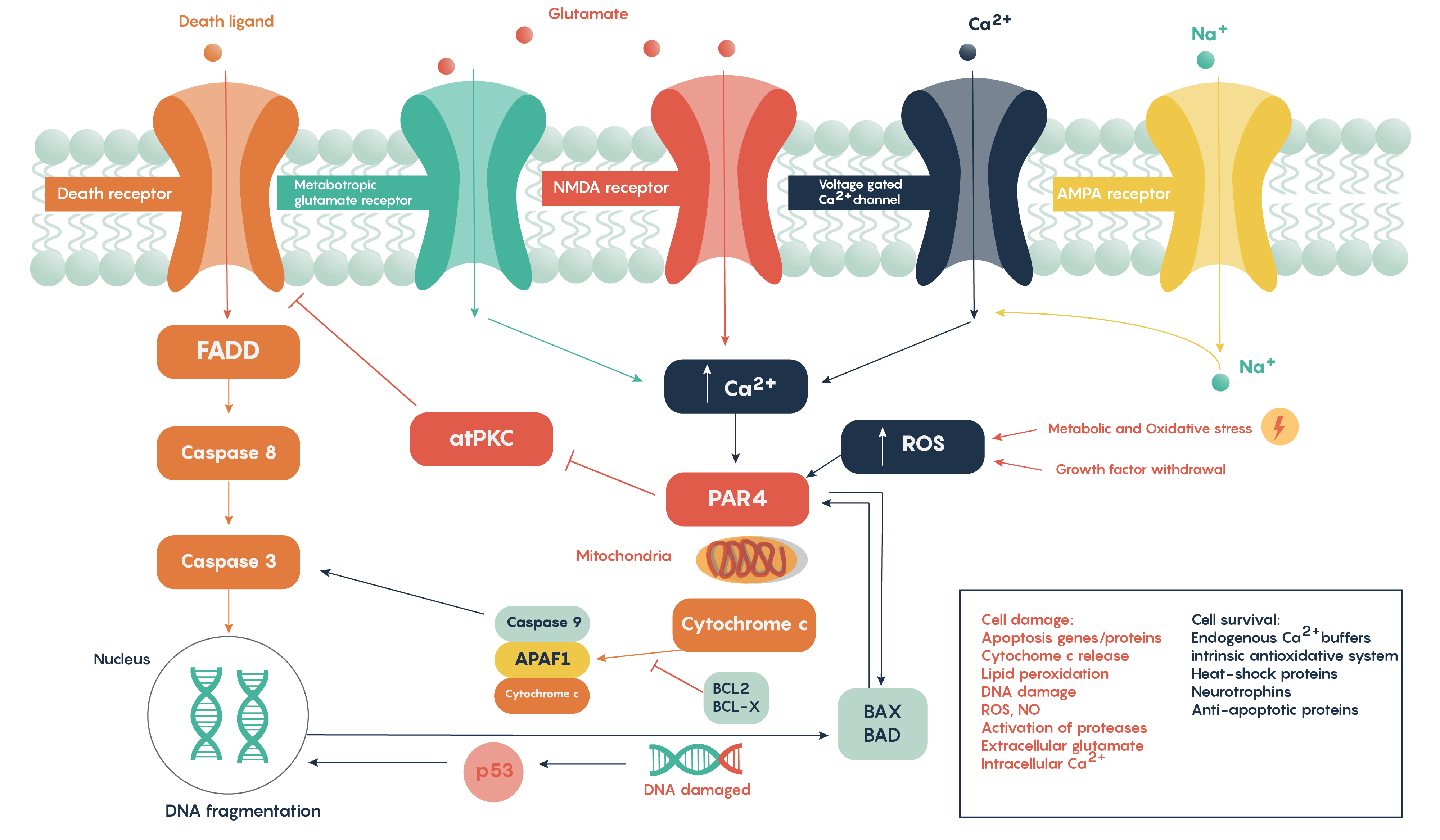 Molecular pathways outlining the role of glutamate in excitoxicity following stroke